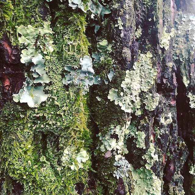 #rainyday #moss #lichen #bark #trees