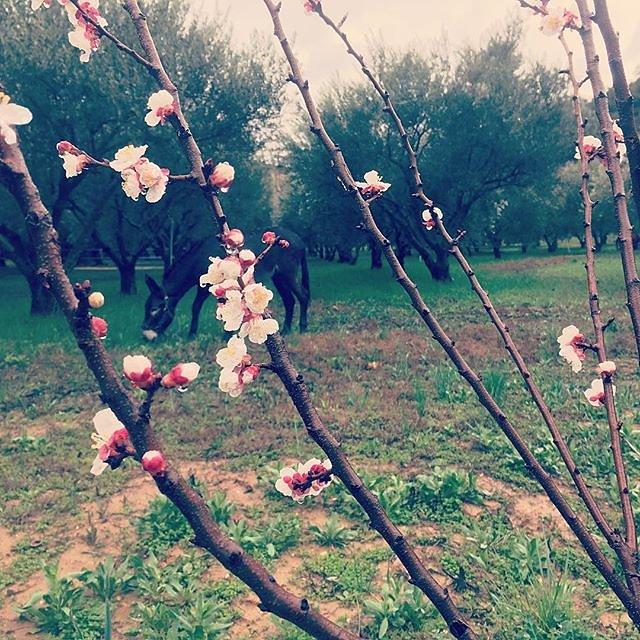 #spring #blossom #donkey #olivegarden @maisonlambot #provence