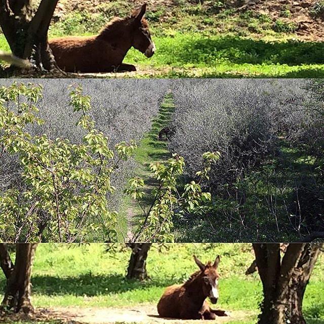 Drawing Yeti in the olive grove @maisonlambot  Casa Artista Courses  art.casa-artista.com.  #provenceverte #artcourse #animalphotography #pleinair #springday #olivetree #donkeyoftheday #cuteanimal #animalsofinsta #holidaypicture #coursdart #arttrip #prove