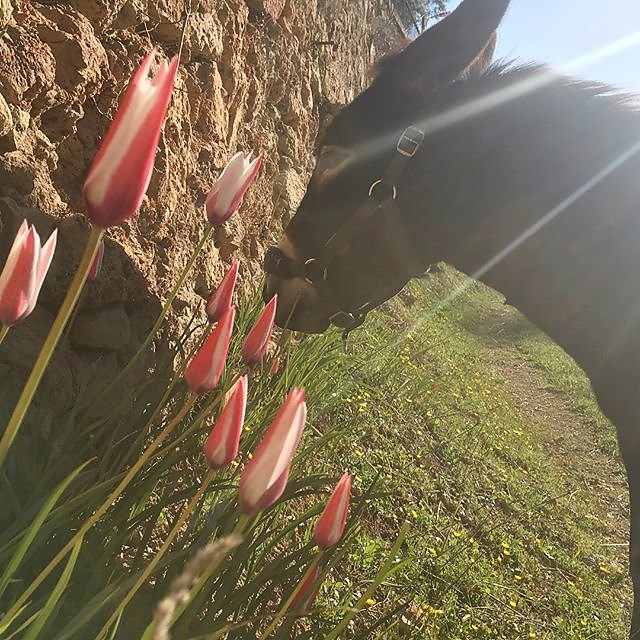 #tulips #spring #donkey @maisonlambot