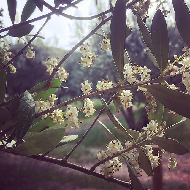 #olivegarden #olivegrove #blossom #blossoms @maisonlambot