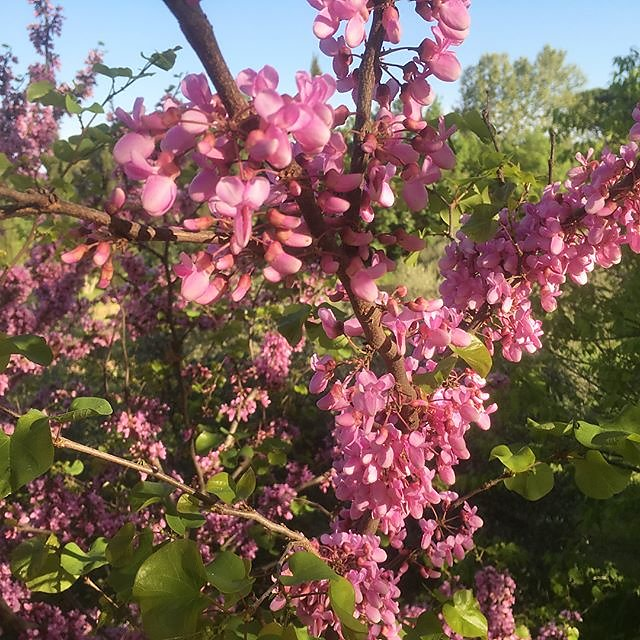 #blossom #provence #bees
