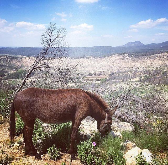 #yeti #donkey #provenceverte #bessillon #april #saturdaywalk #herbs #flowers #france