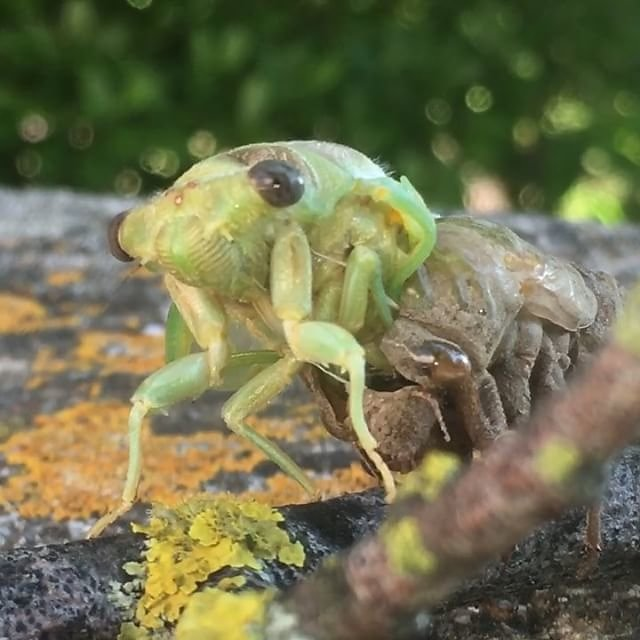 #cigale #cicada #provence #insects